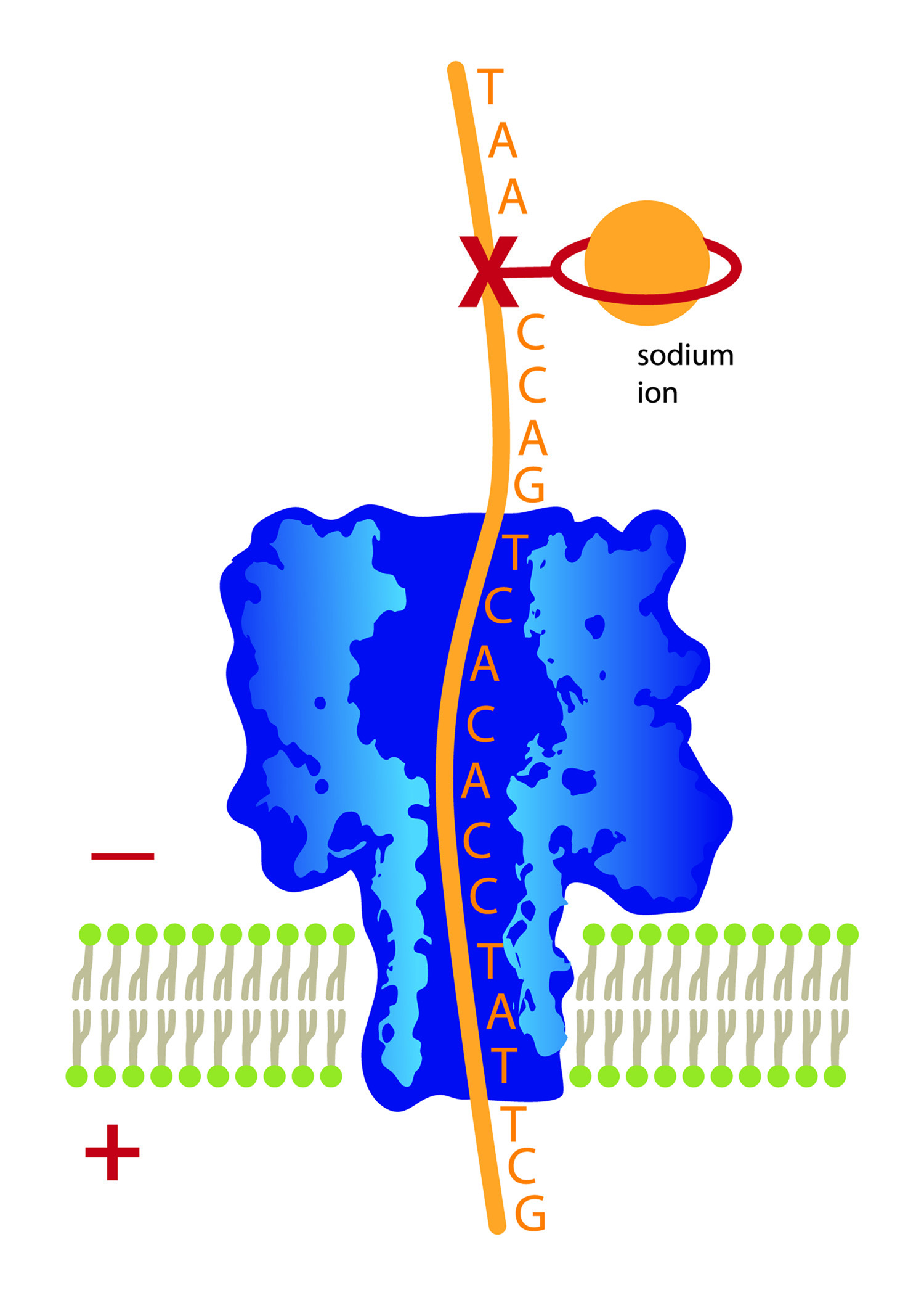 """This illustration shows a strand of DNA with nucleotide bases (A,T, G and C) attached, moving downward through a molecule-wide pore known as a """"nanopore."""" The """"X"""" marks the location of a missing base, a form of DNA damage that, if unrepaired, can lead to gene mutations and disease. By attaching a ring-shaped chemical to the damage site and placing a sodium ion inside the ring, movement of the DNA through the nanopore is slowed to the point that chemists can detect the DNA damage site. University of Utah chemists developed this new use of nanopore technology to detect DNA damage."""