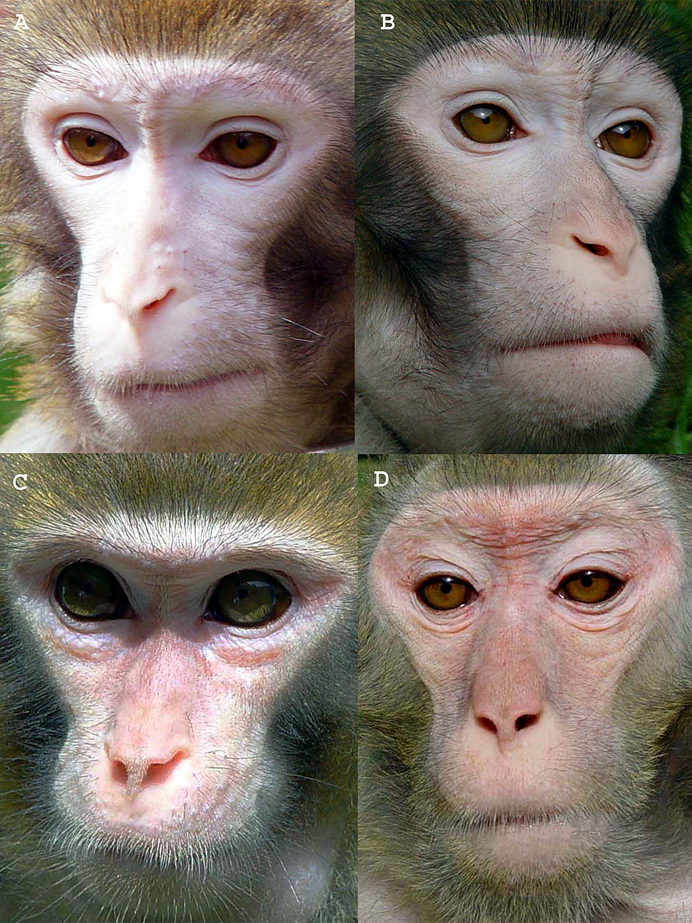 Rhesus monkeys like those used in a University of Utah study of age-related decline in brain-cell function include 4-year-old Ding-Ding (A), 7-year-old Miki (B), 14-year-old Yi-Yi [C] and 26-year-old Grandpa Solomon (D). Other monkeys were used in the study. Those pictured live in China.