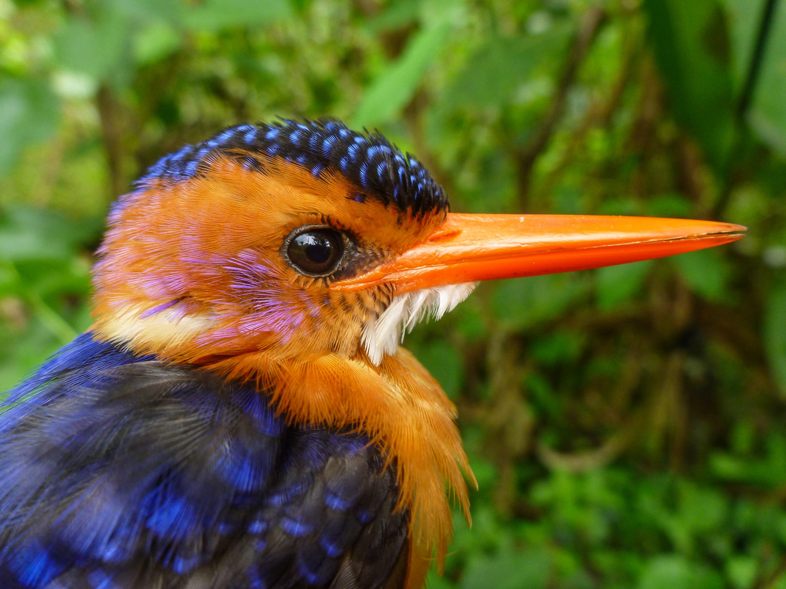 This African pygmy kingfisher is an insect-eating bird in Ethiopian forests. It was among 51 bird species netted by University of Utah researchers who found that shade coffee farms in Ethiopia – the native home of Arabica coffee – are good for birds, but that some species do best in forest.
