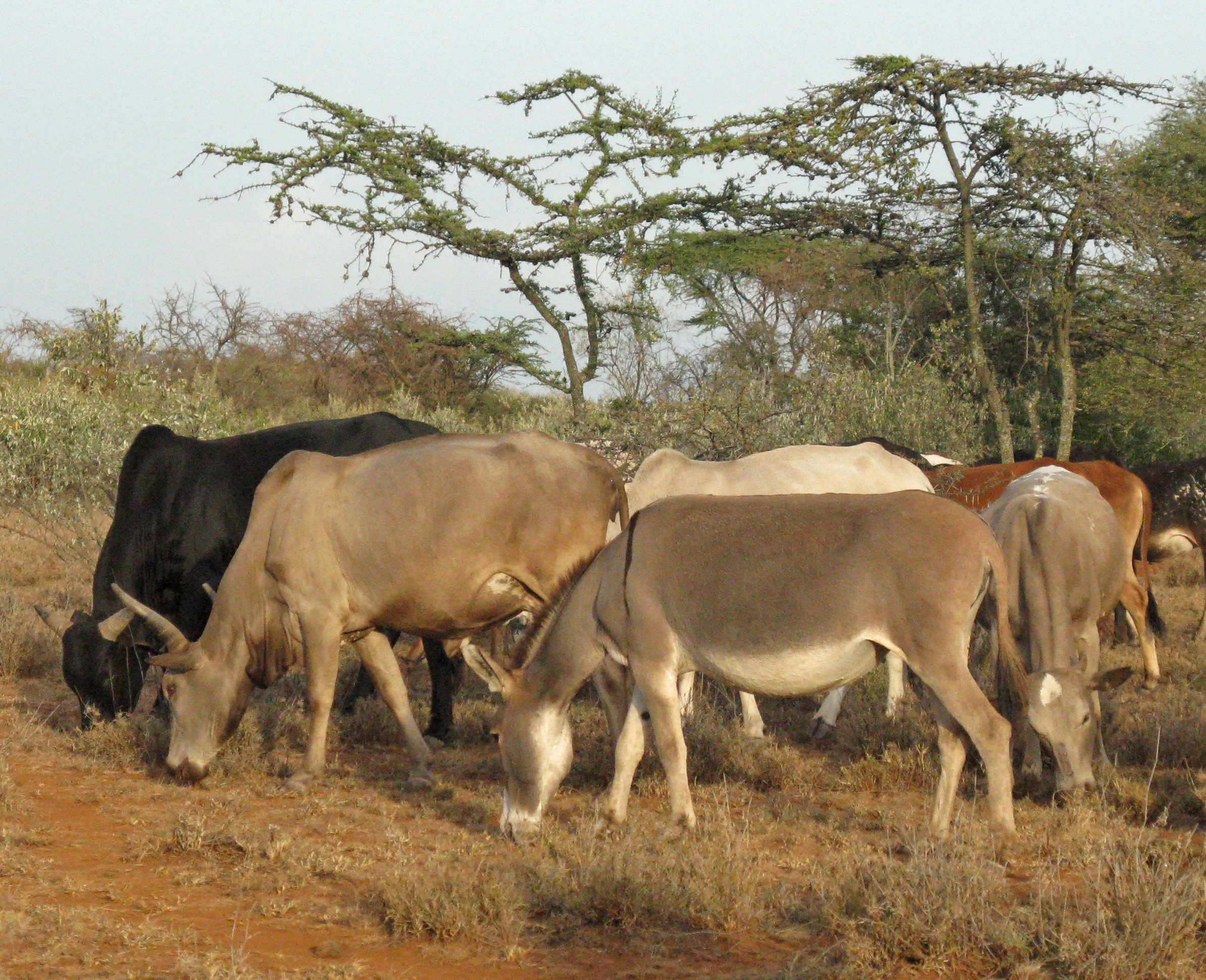 Cattle and donkeys at a camp in Kenya. A new University of Utah-led study found that early herders and livestock traveling from eastern Africa to southern Africa some 2,000 years ago could have passed through the Lake Victoria Basin in southwest Kenya because the area was grassy, not a bushy, tsetse fly-infested environment as previously believed.
