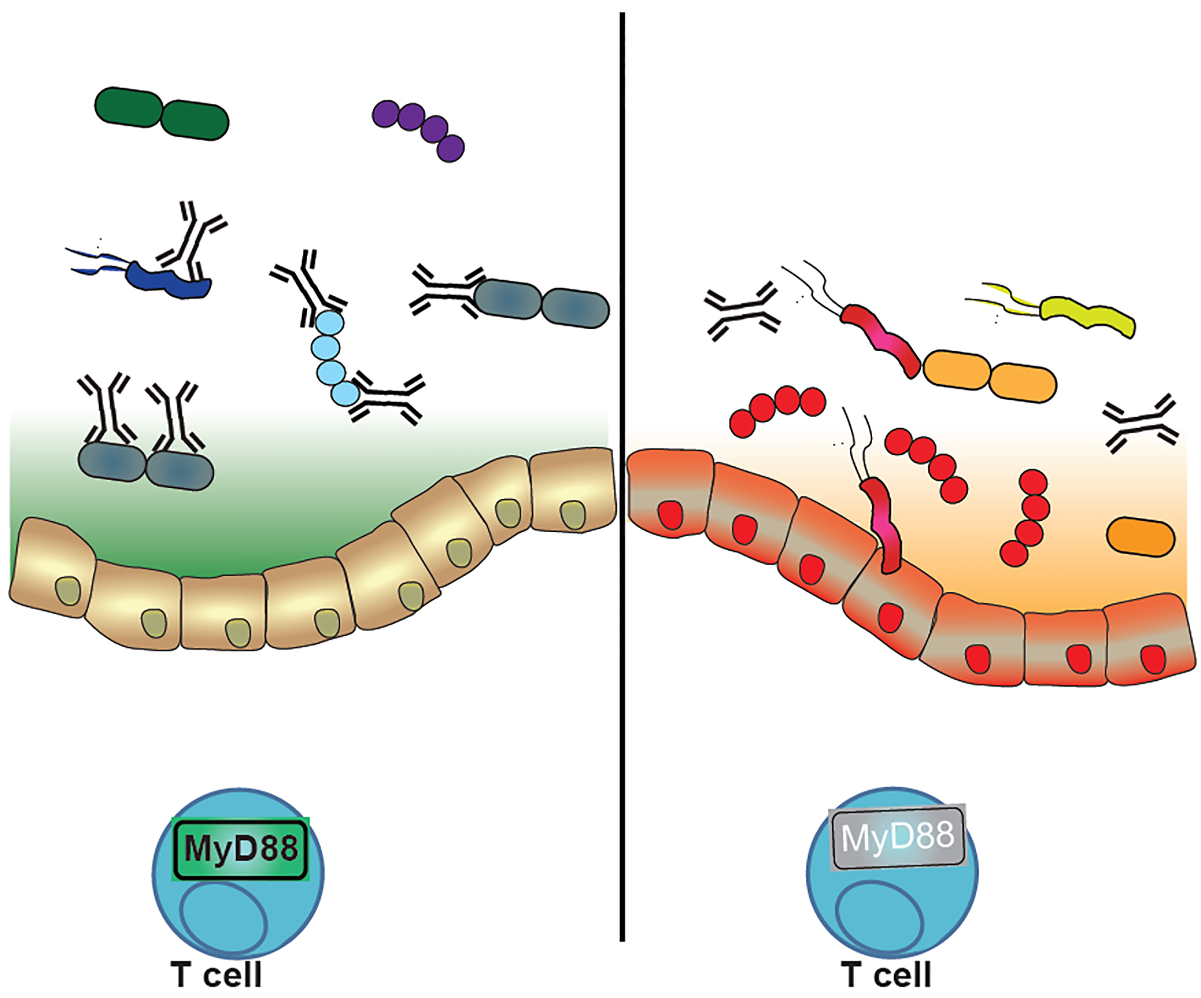 """(Left) When the immune system functions properly (MyD88 is active, green), IgA antibodies bind multiple species of bacteria, keeping the numbers and types of """"good"""" bacteria that inhabit the gut under control. (Right) When the immune system is disrupted (MyD88 is inactive, gray), IgA binds bacteria less effectively, and the bacterial community becomes imbalanced, jeopardizing digestive health."""