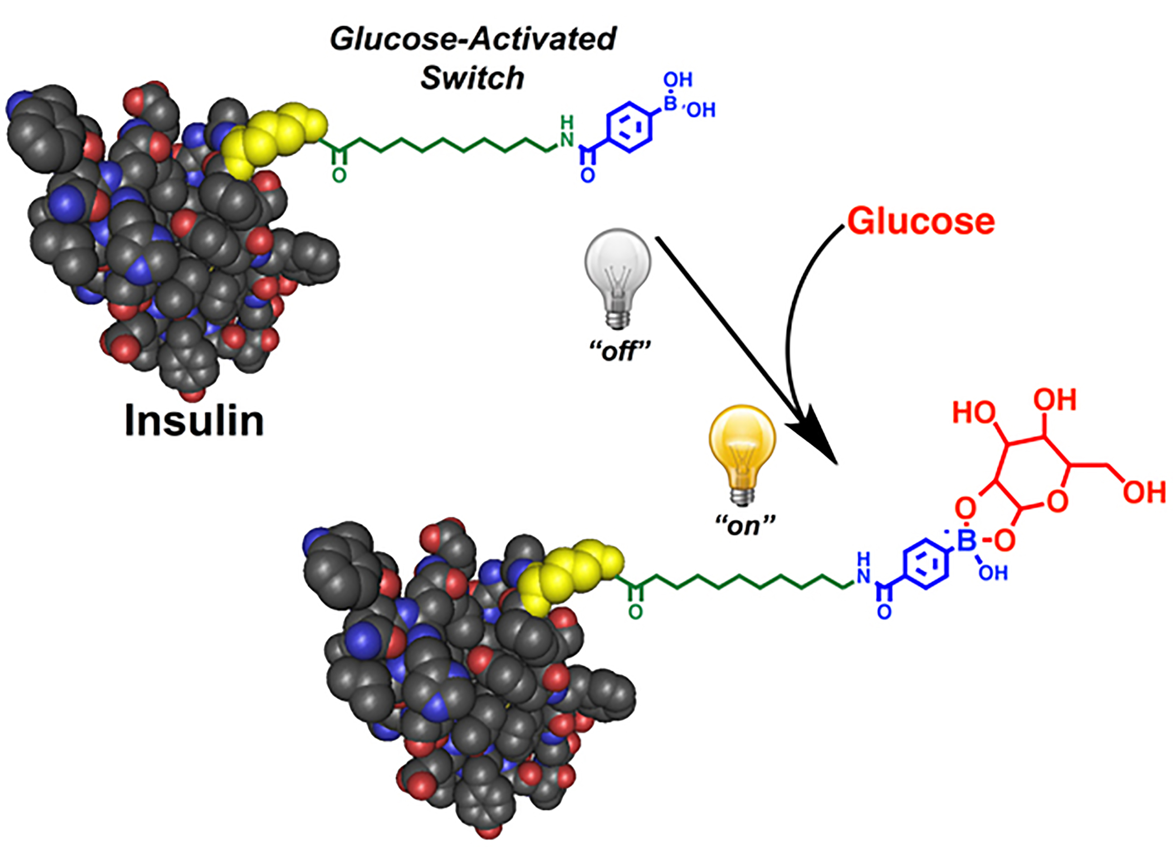 """Scientists have developed a """"smart"""" insulin that self-activates in response to blood sugar levels. When blood sugar is high, the insulin becomes active, working quickly to normalize blood sugar levels. One injection of the smart insulin, called Ins-PBA-F, can repeatedly and automatically normalize blood sugar levels over a minimum of 14 hours in mice with a type 1 diabetes-like condition. Scientists are now developing the modified insulin into a therapy suitable for human use. Doing so would greatly improve the health and quality of life for diabetics."""