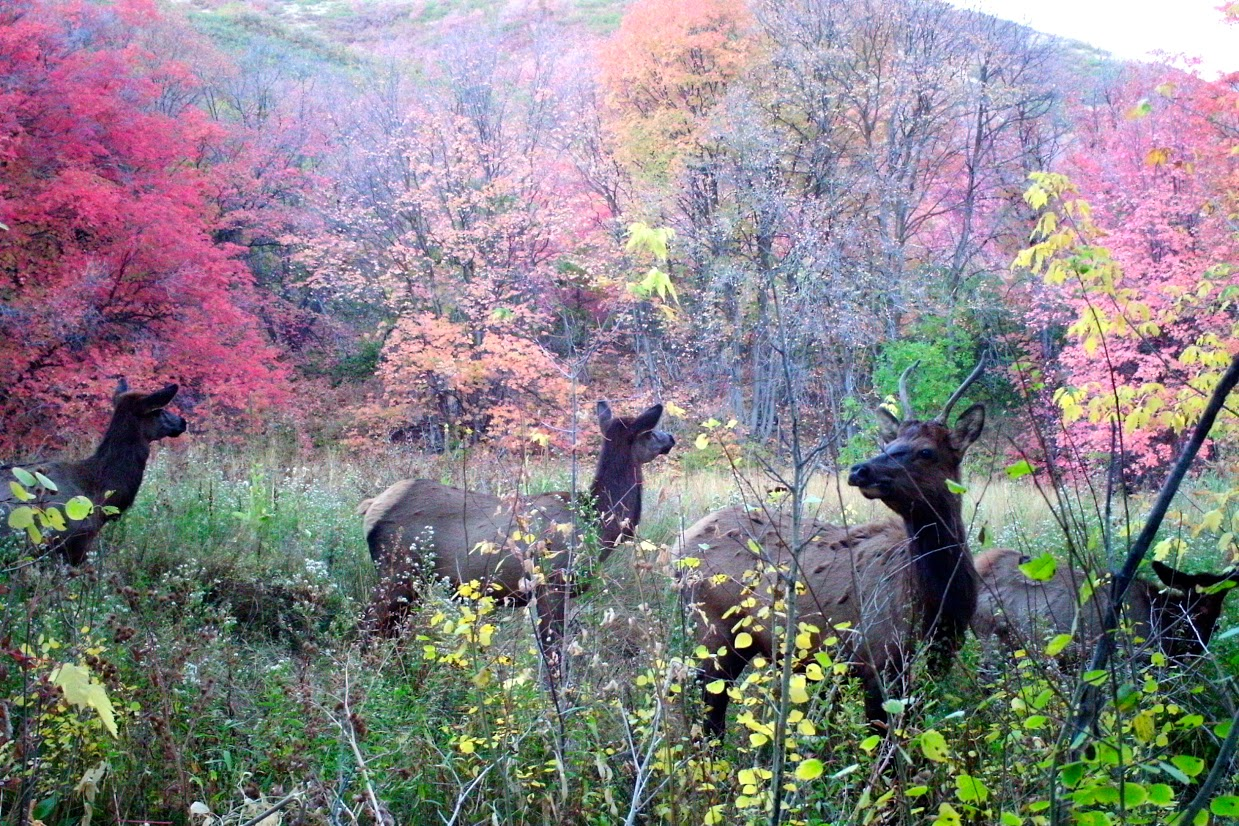 Elk surrounded by fall foliage in Red Butte Canyon