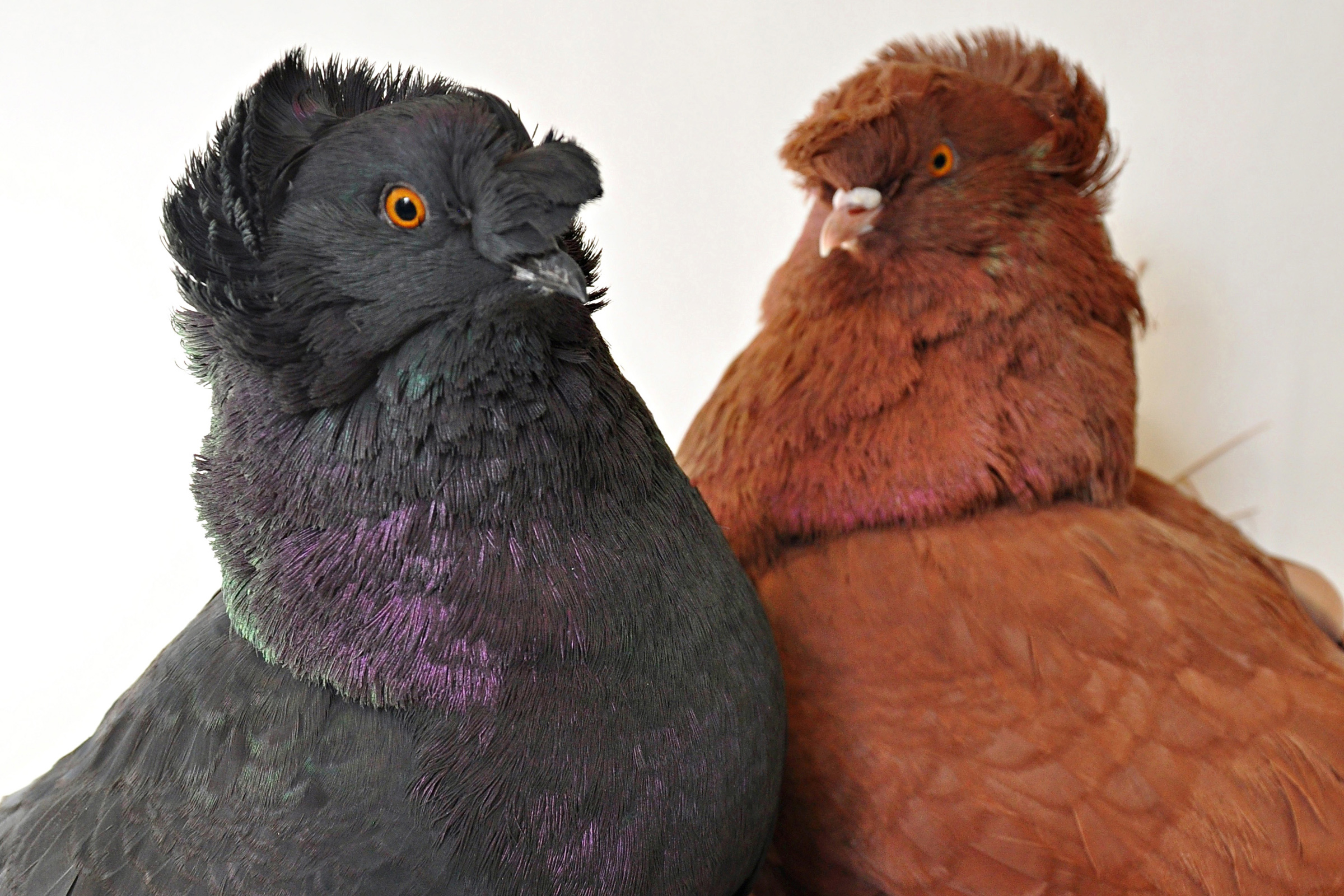 These English trumpeter pigeons – blue-black on the left and red on the right – display some of the great diversity of colors among some 350 breeds of rock pigeons. University of Utah biologists discovered three major genes explain color variations in rock pigeons. In the blue-black pigeon, none of the genes have mutations. The red bird is that color because it has a mutant version of a gene named Sox10. The same genes are involved in making some people susceptible to skin cancer and others develop albinism, or a lack of pigment.