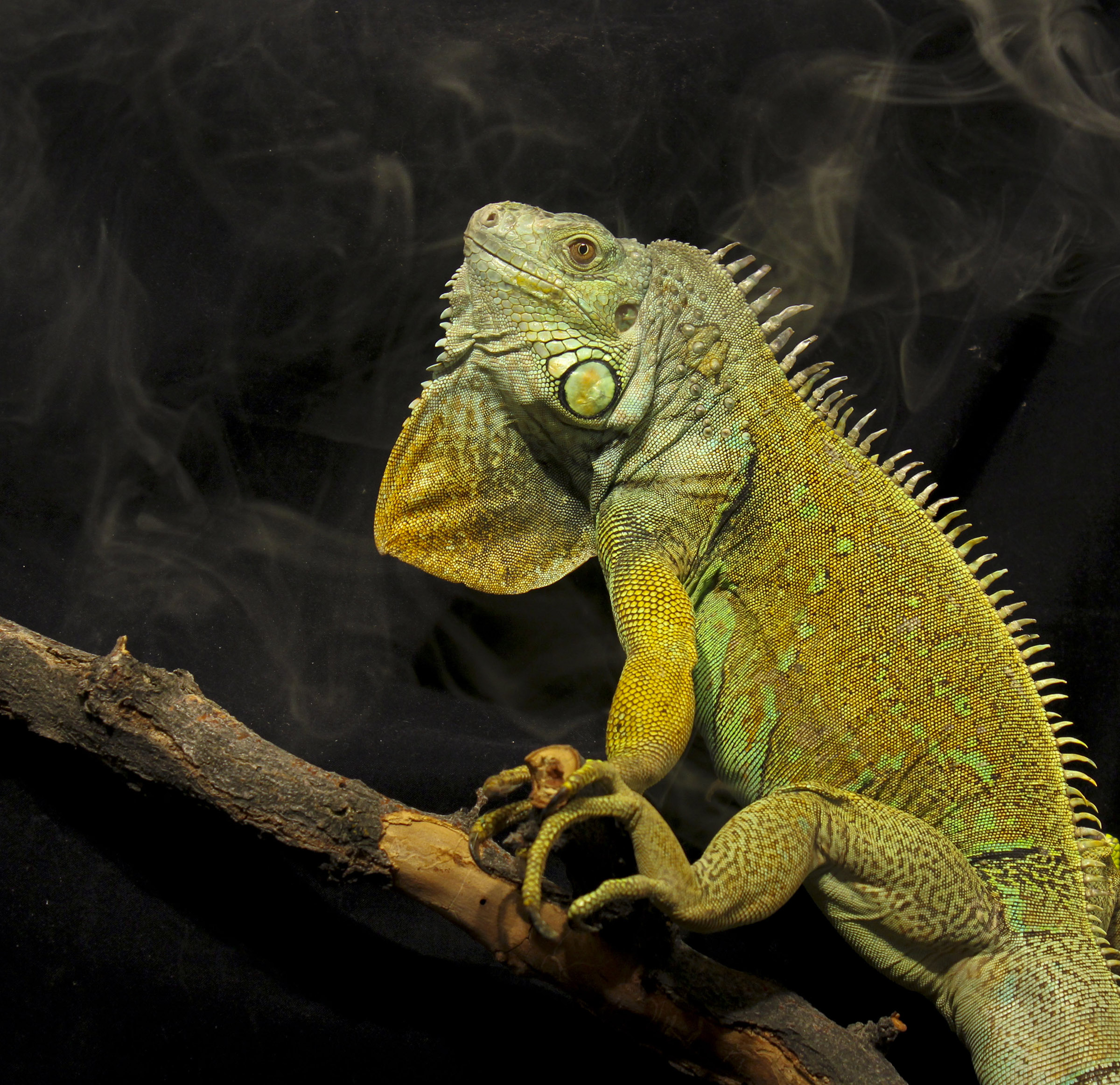 University of Utah scientists have shown that green iguanas have bird-like breathing; air flows in a one-directional loop through their lungs. The discovery bolsters the case that this style of breathing evolved in a common ancestor of lizards, snakes, crocodiles and dinosaurs including birds.