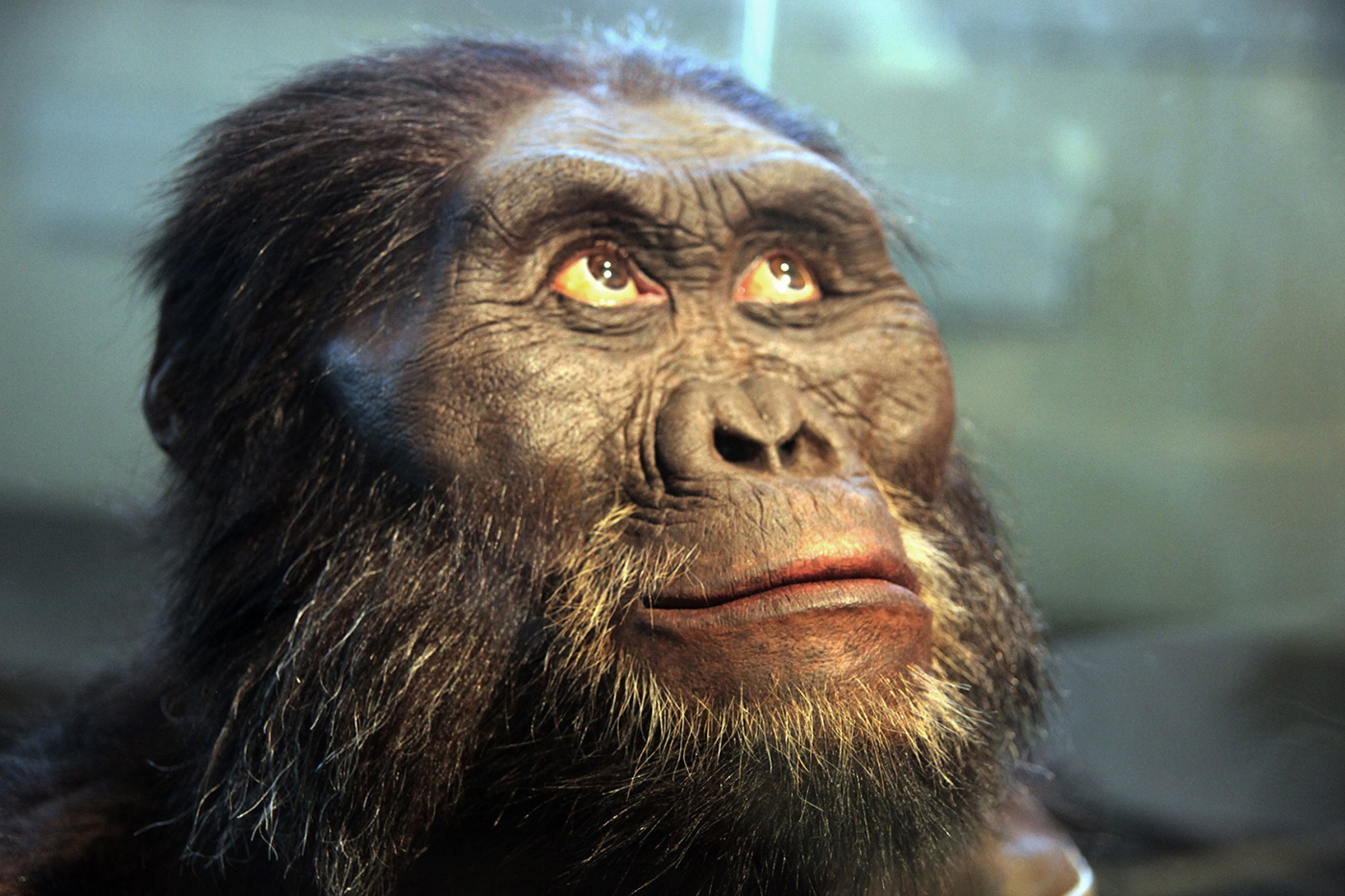 A reconstruction of the head of an Australopithecus afarensis on display in the Hall of Human Origins in the Smithsonian Museum of Natural History in Washington, D.C.