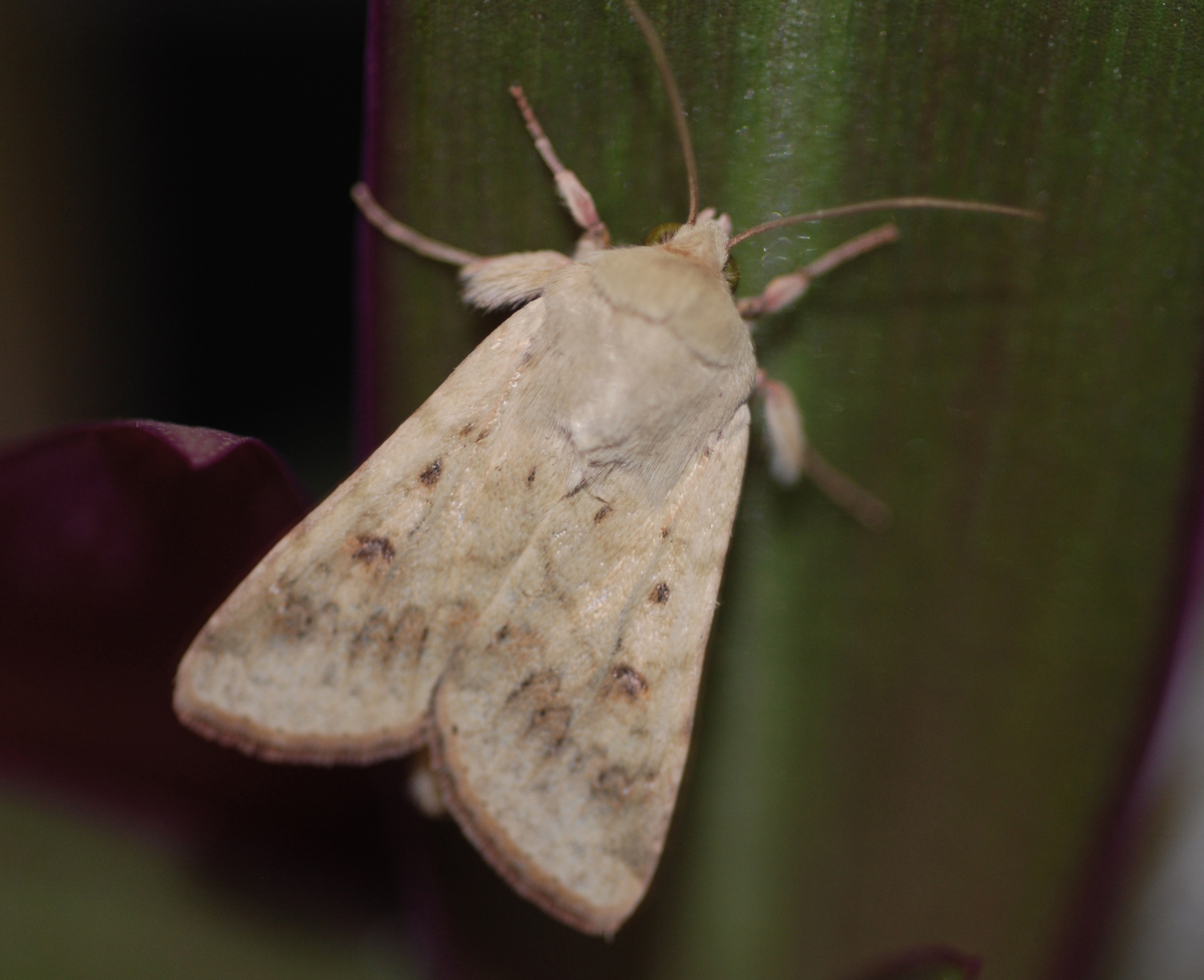 A moth. By studying how female sex attractants make male moths warm up their flight muscles faster but take flight prematurely, University of Utah biologists are learning about how odor affects animal behavior.