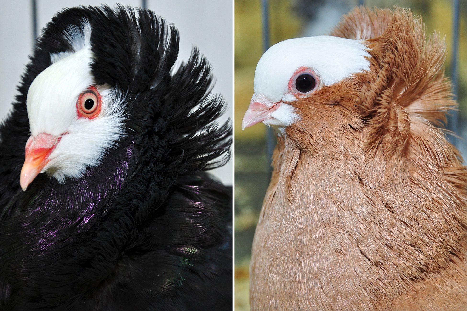 These two pigeon breeds -- the old Dutch capuchine, left, and komorner tumbler, right -- are not closely related, let they both have feathery ornamentation on their heads known as a head crest. These pigeons illustrate the notion that birds of a feather don't always stick together, at least genetically, according to a new University of Utah study of the pigeon family tree.