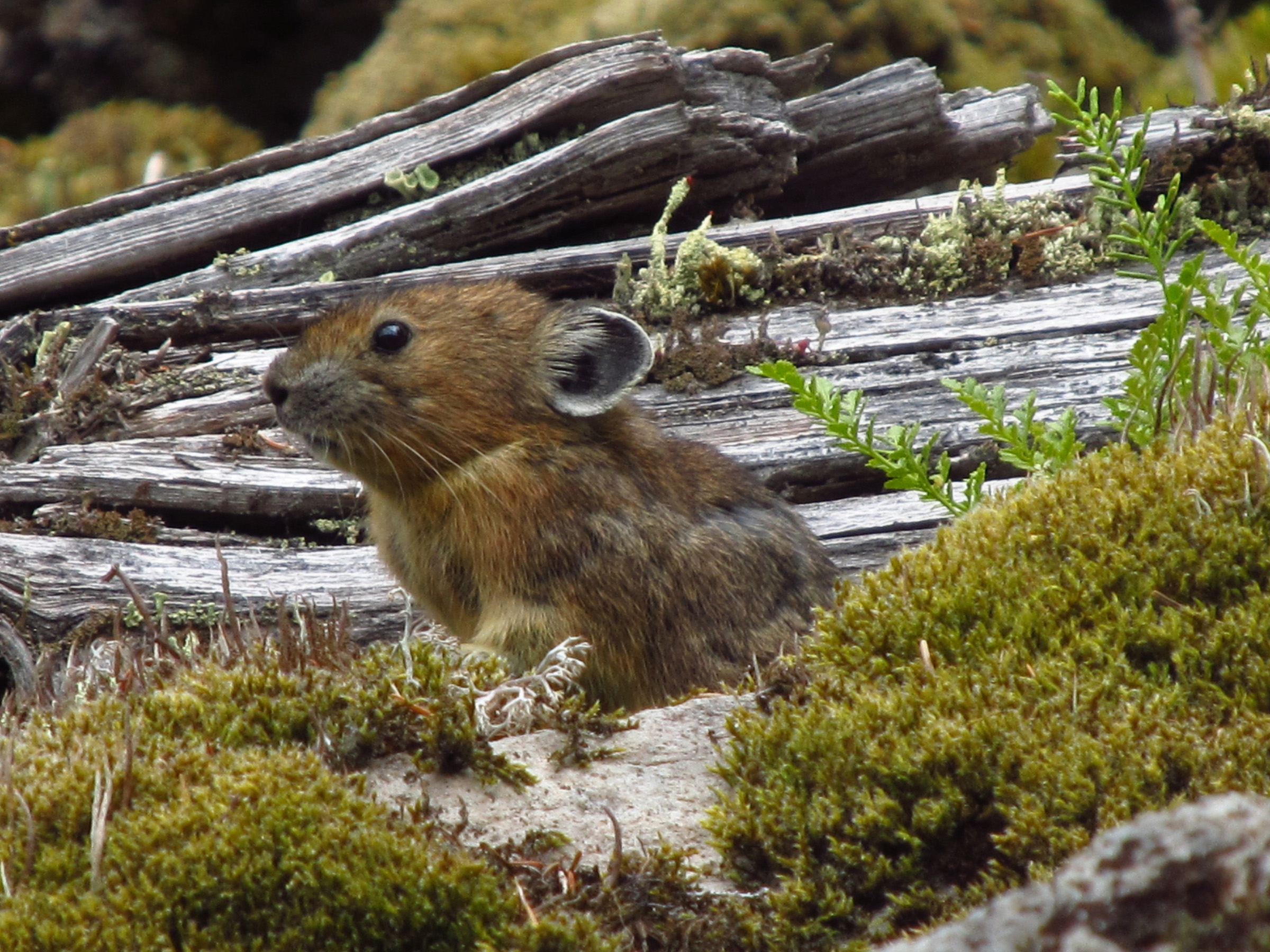 A rabbit relative known as a pika sits among wood, moss and rocks on rockslide or talus slope in Oregon's Columbia River Gorge. A University of Utah study found the pikas -- which normally live at much higher elevations and are threatened by climate change – survive at nearly sea level in Oregon by eating more moss than any other known wild mammal.