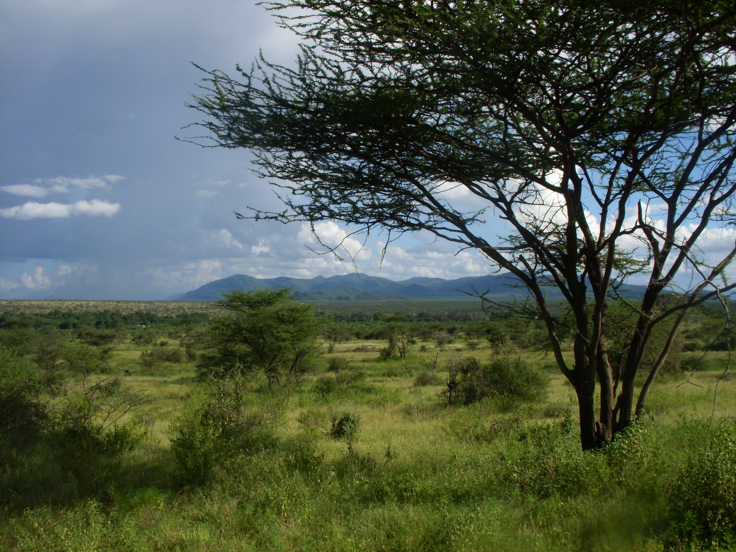 An East African savanna landscape of tree-dotted grassland is shown in this image from Samburu National Reserve in Kenya. The more heavily vegetated area in the middle distance is the corridor of the Ewaso Ngiro River. A new University of Utah study concludes that savanna was the predominant ecosystem during the evolution of human ancestors and their chimp and gorilla relatives in East Africa.