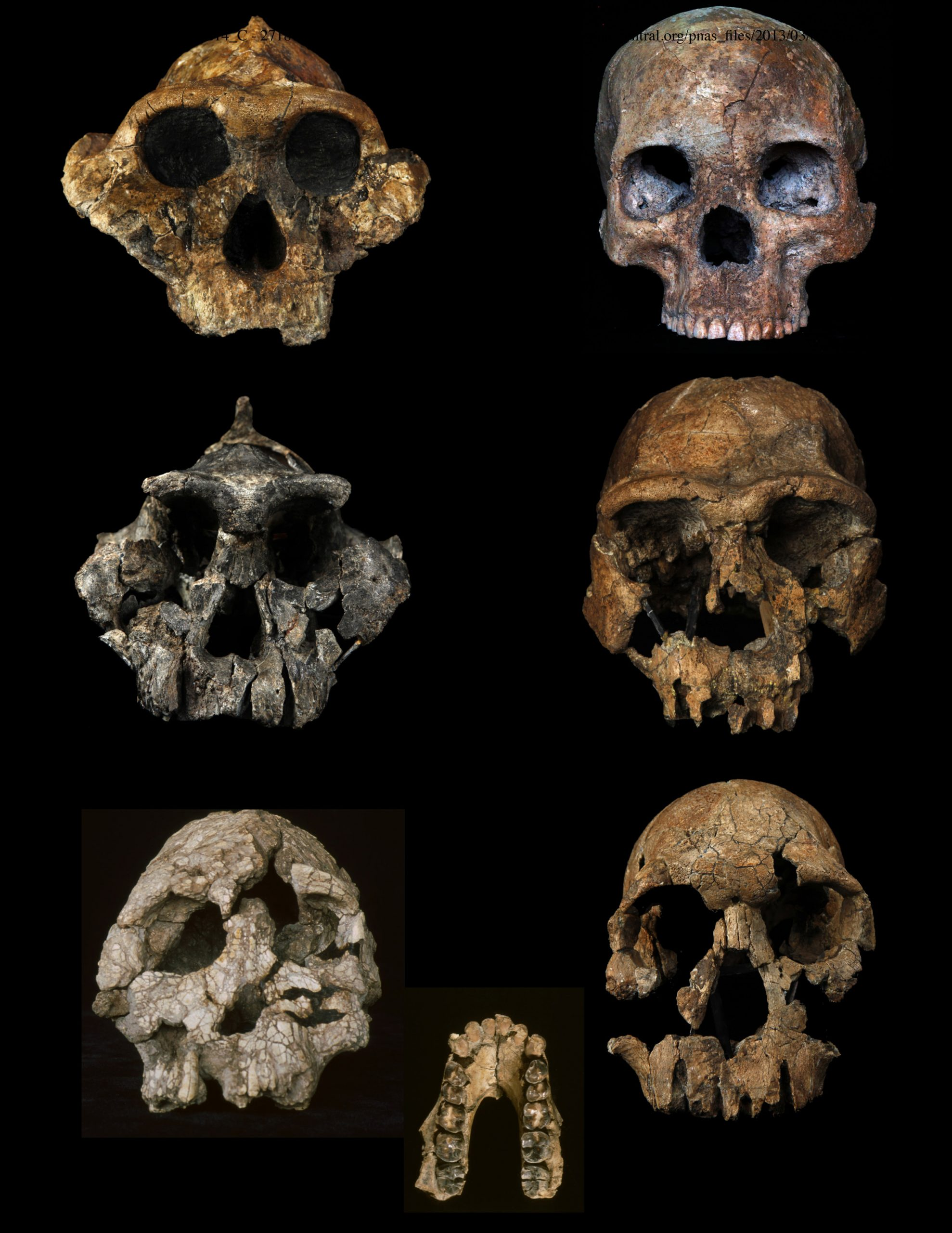 A set of new studies from the University of Utah and elsewhere found that human ancestors and relatives started eating an increasingly grassy diet 3.5 million years ago. The studies included analysis of tooth enamel  from fossils of several early African humans, their ancestors and extinct relatives, some of which are shown here. Top left: Paranthropus bosei, 1.7 million years ago. Top right: Homo sapiens, 10,000 years ago. Center left: Paranthropus aethiopicus, 2.3 million years ago. Center right: Homo ergaster, 1.6 million years ago. Bottom left: Kenyanthropus platyops, 3.3 million years ago. Bottom center: lower jaw from Australopithecus anamensis, 4 million years ago. Bottom right: Homo rudolfensis, 1.9 million years ago.