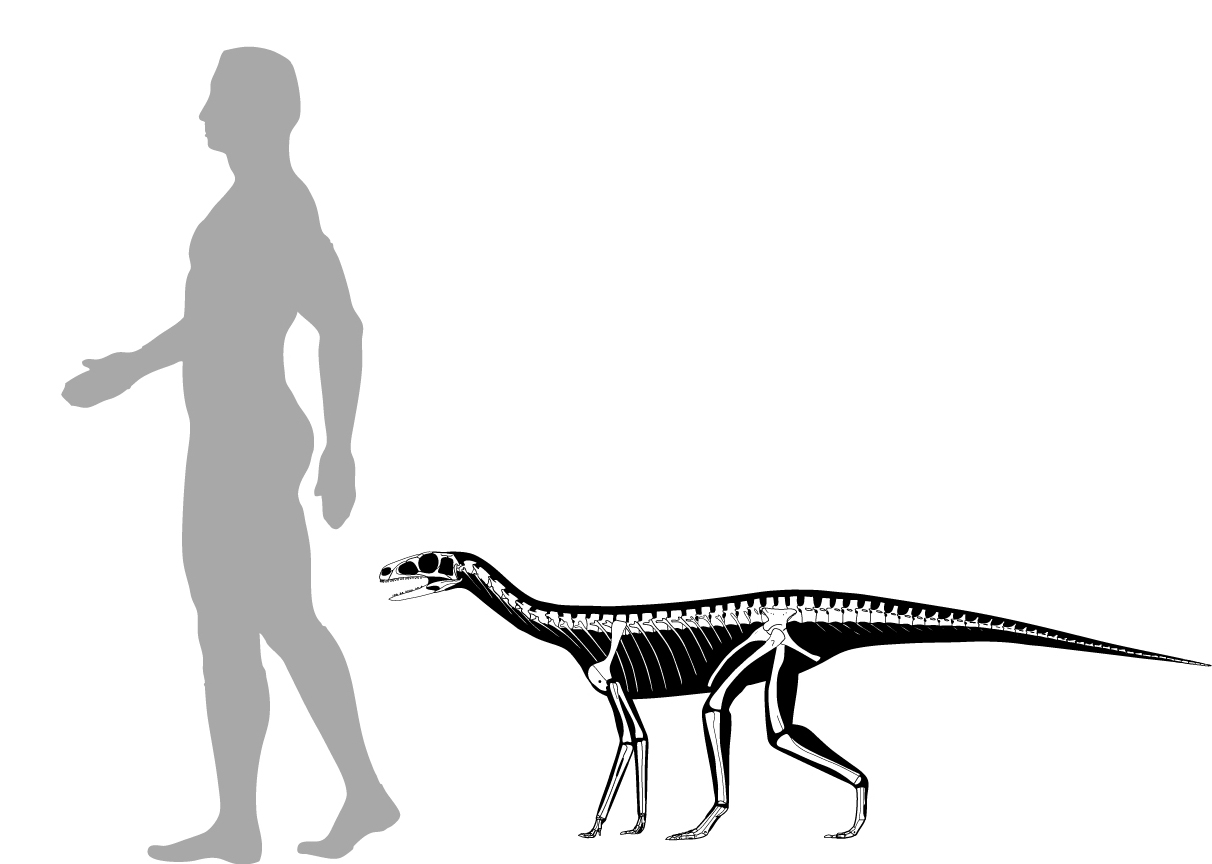 Skeletal reconstruction of Asilisaurus kongwe with a human silhouette for scale.