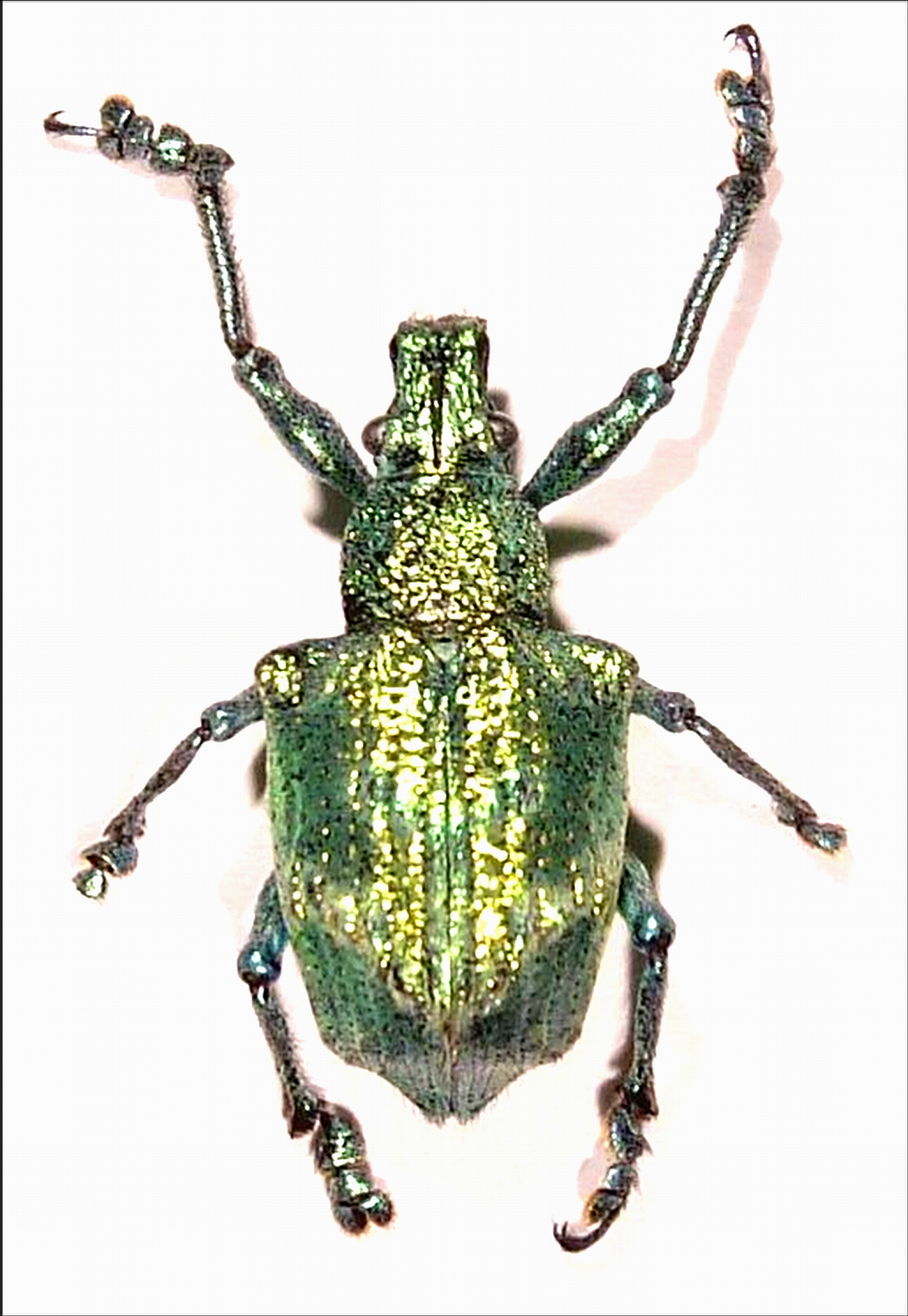 """This inch-long beetle from Brazil accomplished a task that so far has stymied human researchers. University of Utah chemists determined the beetle glows iridescent green because it evolved a crystal structure in its scales that is like the crystal structure of diamonds. Such a structure is considered an ideal architecture for """"photonic crystals"""" that will be needed to manipulate visible light in ultrafast optical computers of the future."""