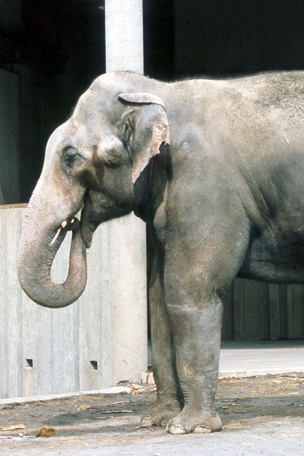 A male Asian elephant uses his trunk to place female elephant urine in a sensory organ in the roof of his mouth as a prelude to mating.