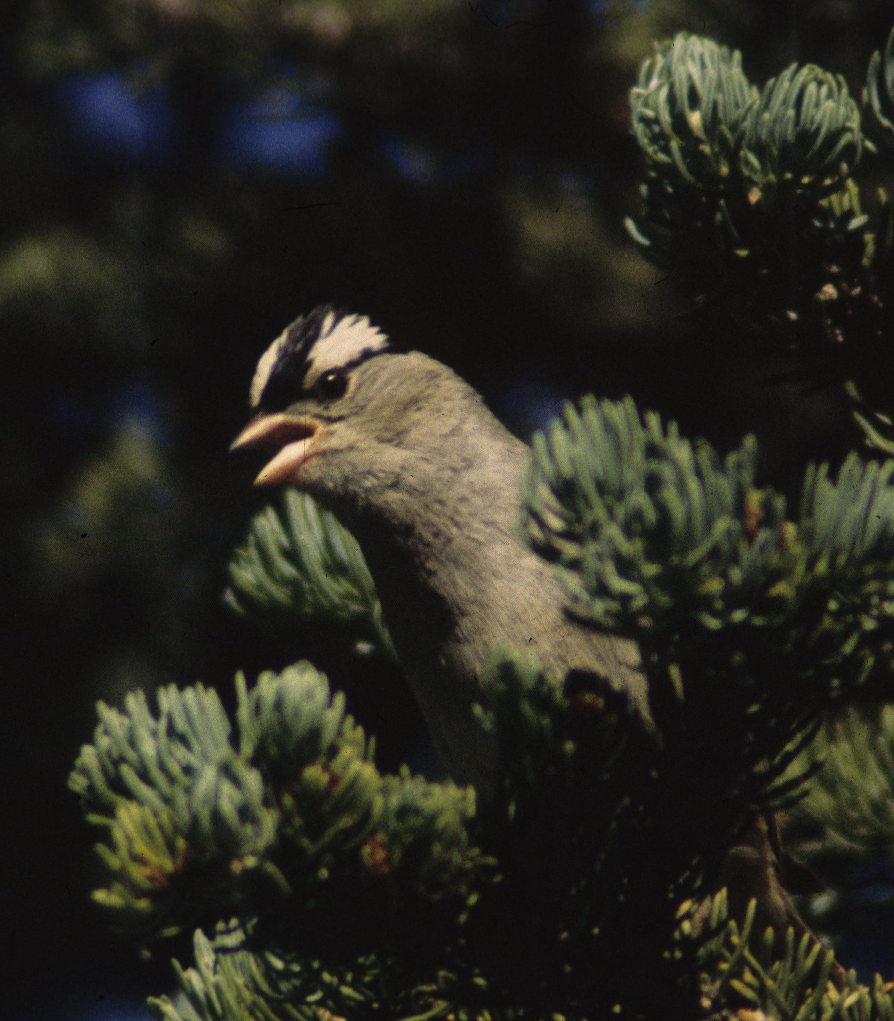 White-crowned sparrows, like this one shown singing in a tree, were used in a University of Utah study that examined how birds learn to sing -- and that may shed light on how humans learn to speak.