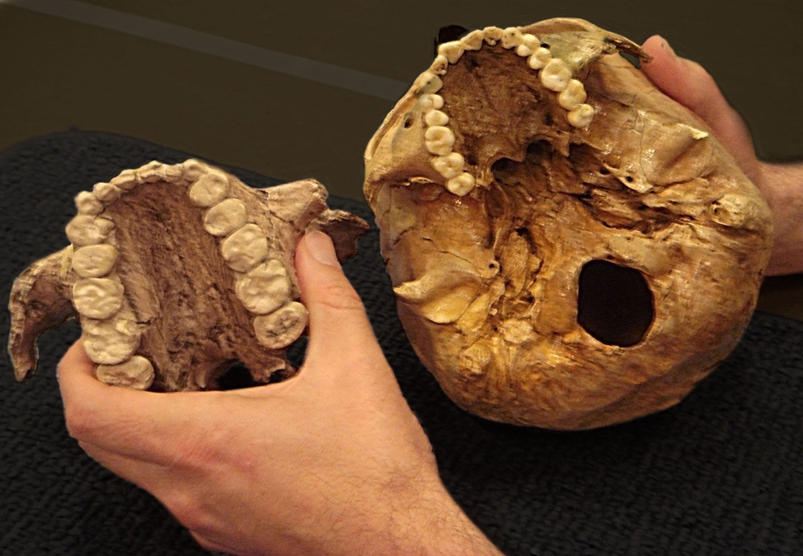 This photo of casts of two palates demonstrates the large size of the teeth of Paranthropus boisei (left), an early human relative that lived in East Africa between 2.3 million and 1.2 million years ago and was known as Nutcracker Man. Much smaller teeth from a human skull are shown on the right. A new study led by University of Utah researchers shows that Nutcracker Man didn't eat nuts as had been believed for decades, but instead used the large, flat teeth to chew grasses or plants known as sedges.