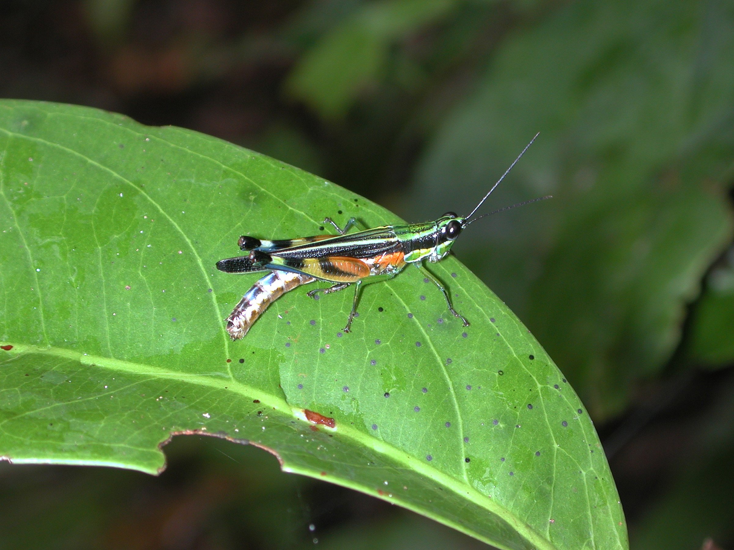 A new University of Utah study found that diversity of rainforest trees actually increases because insects, including grasshoppers like this, eat trees that otherwise would dominate the ecosystem.