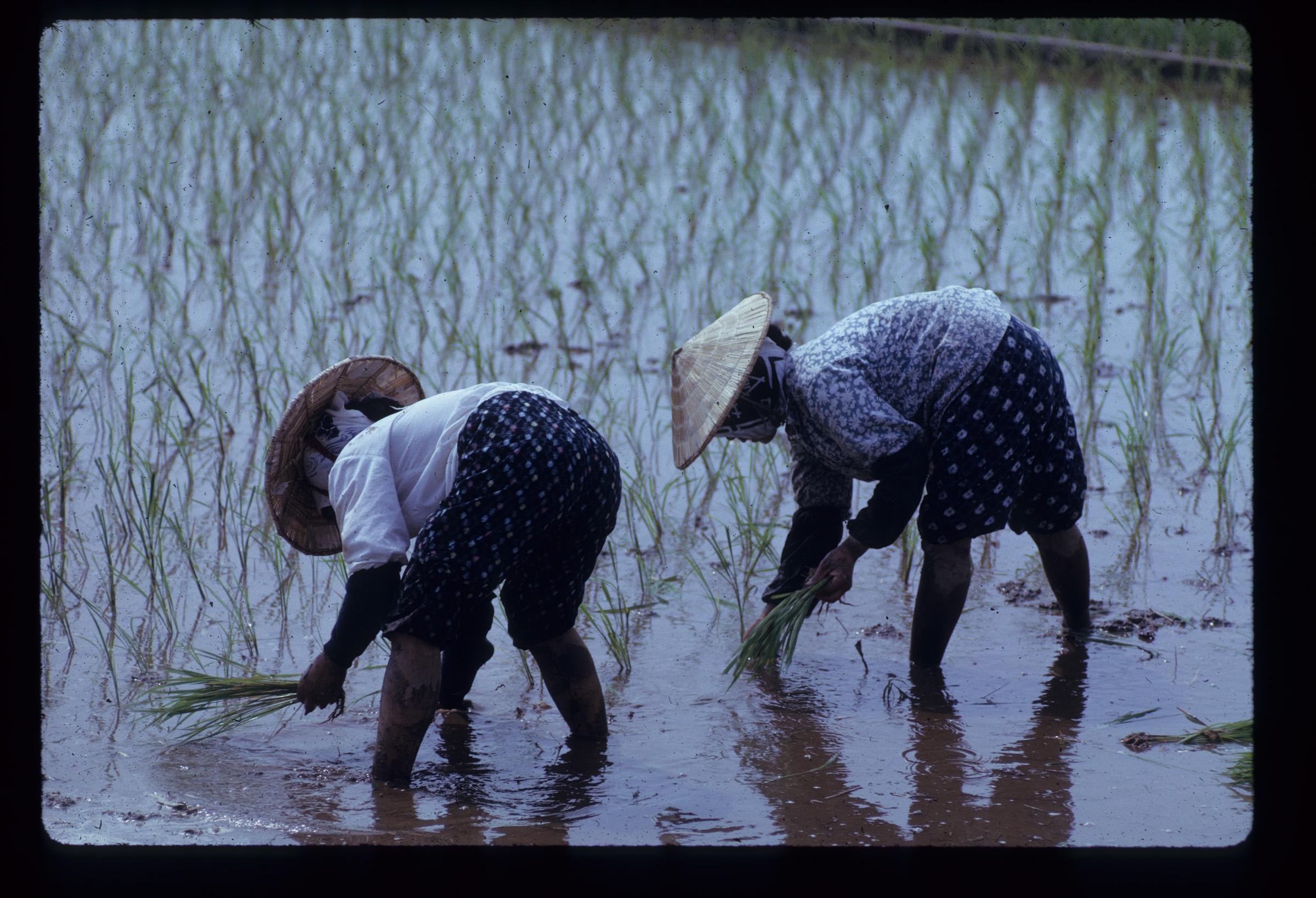 Women planting rice, Japan, 1961