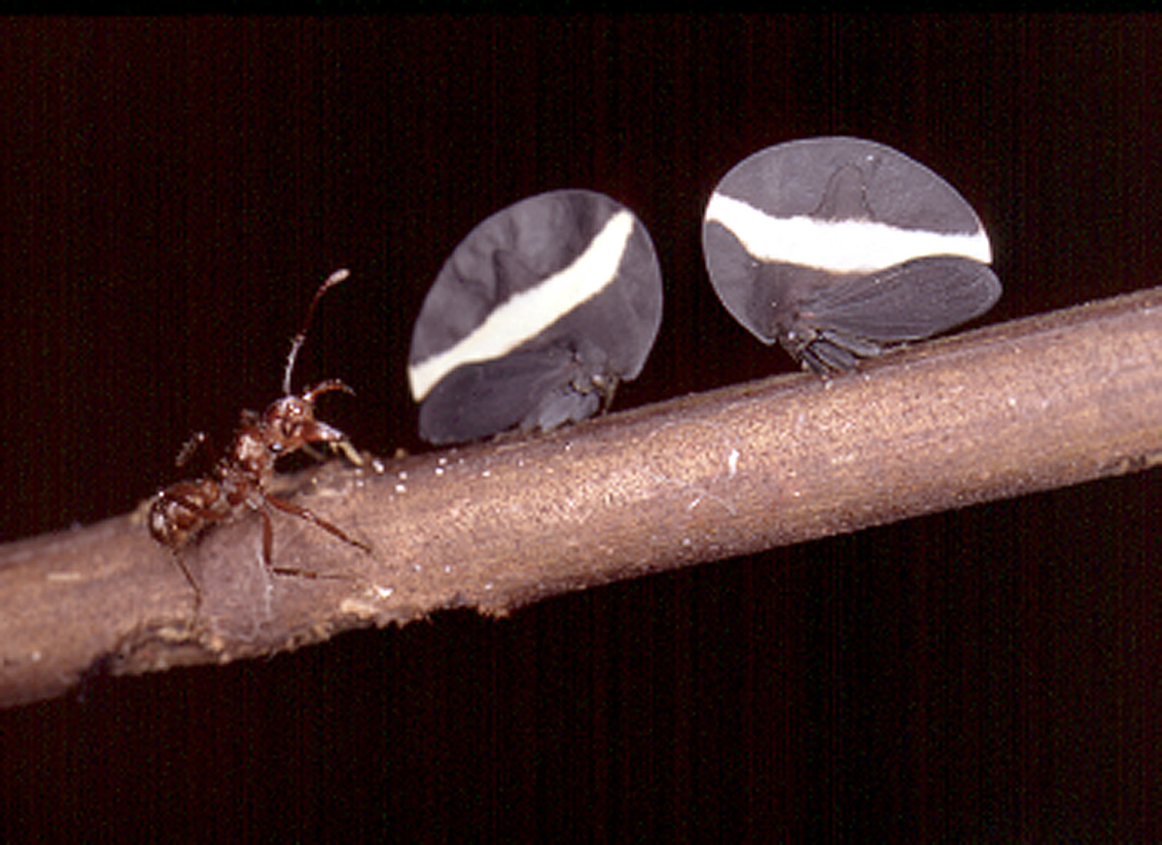 Some ant species indirectly feed on rainforest trees by eating nutrient-rich honeydew excreted by sap-sucking insects such as the two treehoppers shown here sitting on a twig.