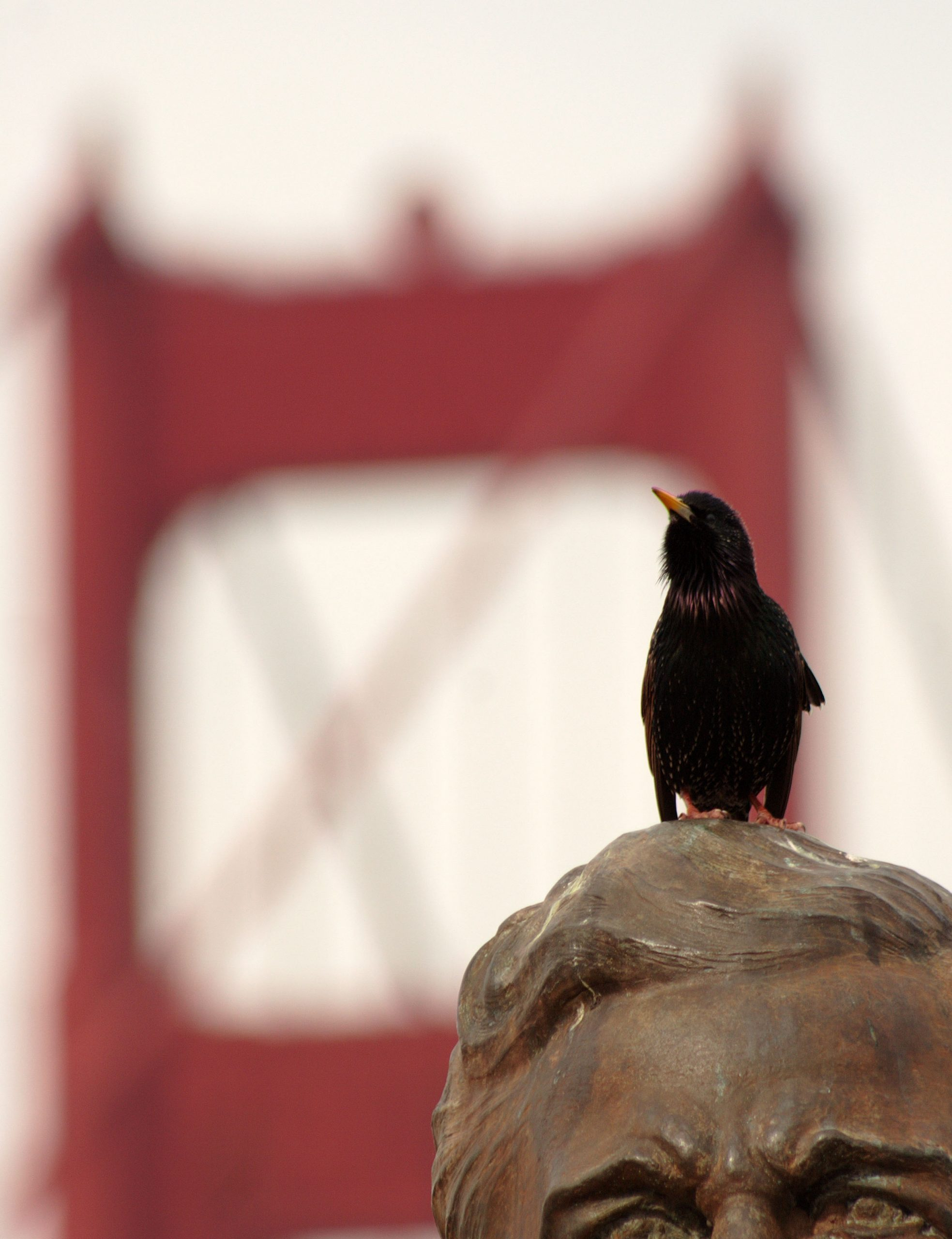 A male European starling sits on a statue and sings in San Francisco, with the Golden Gate Bridge in the background.