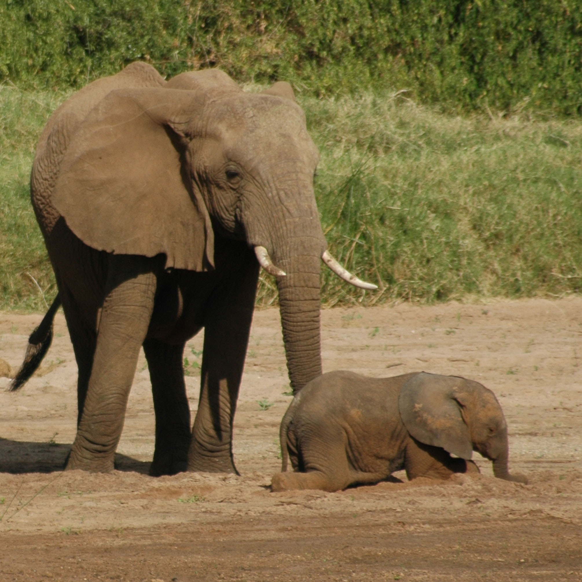 African elephants in Kenya's Samburu National Reserve. Note the adult elephant's tail hair. University of Utah geochemist Thure Cerling analyzed chemical isotopes in elephant tail hair to help track the diet and movements of the giant creatures, which have international status as endangered animals.