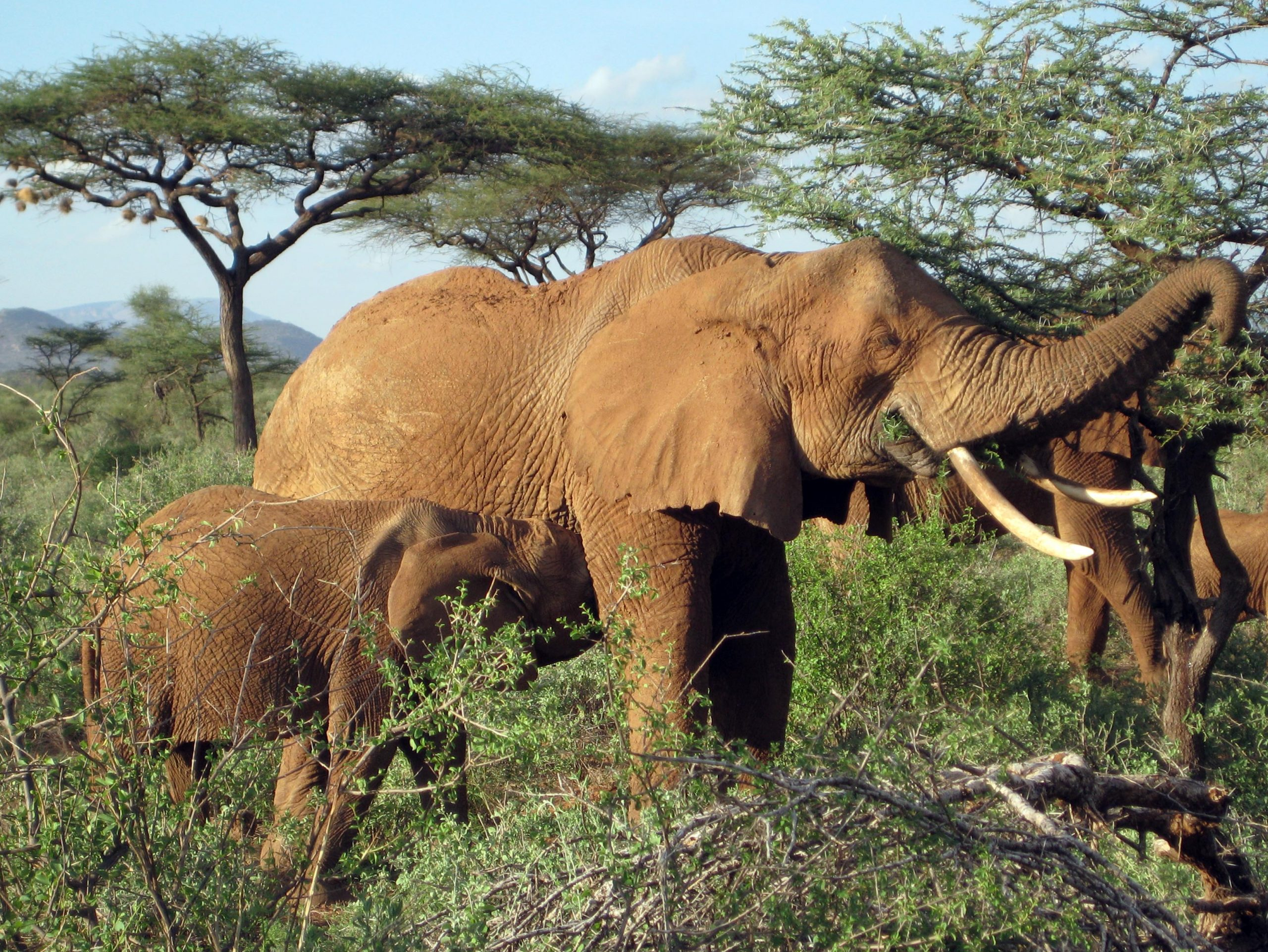 An African elephant browses on leaves of an acacia tree. Modern elephants eat mostly tree leaves and shrubs, but a new University of Utah study shows that they once ate a diet of mostly warm-season grasses, starting about 7.4 million years ago. The study used fossilized teeth to reconstruct the dietary history of east African plant-eaters from 10 million to 3 million years ago, showing that different animals switched at different times from a salad-bar diet of trees and shrubs to a diet of warm season grasses.