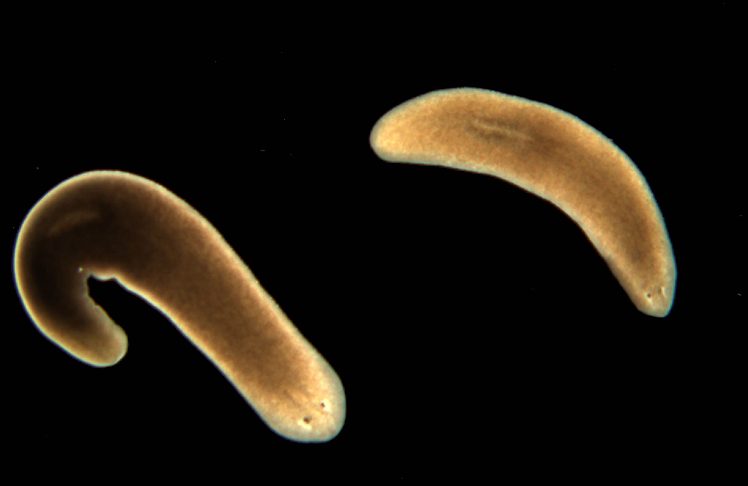 Specimens of the clonal strain CIW4 of the planarian Schmidtea mediterranea. These animals are excellent tissue regenerators and share with humans bilateral symmetry and tissues derived from all three germ layers, i.e., ectoderm, mesoderm and endoderm