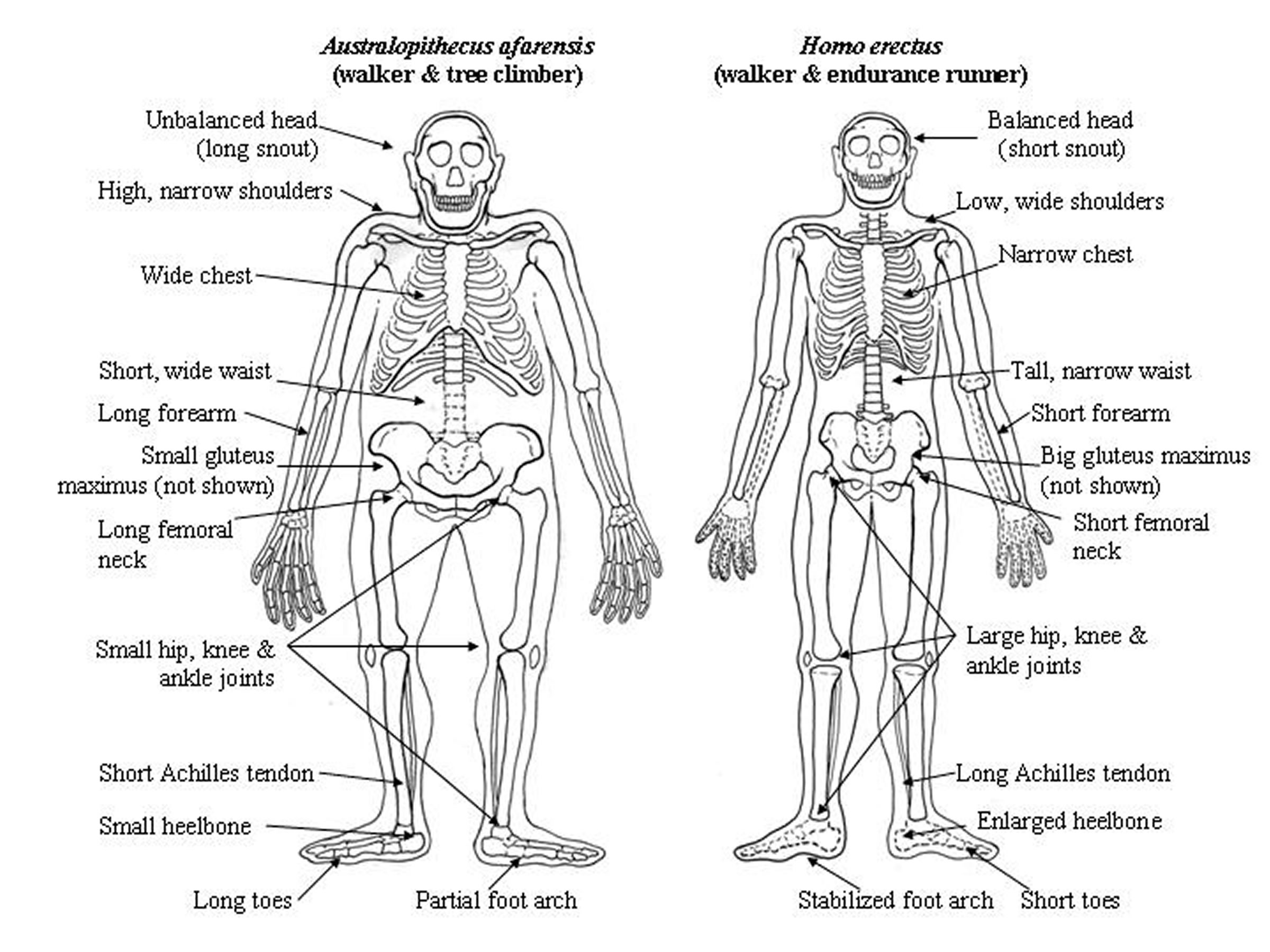Drawings of our ape-like ancestor, Australopithecus afarensis, and an early human species, Homo erectus, shows some of the differences that gave humans the ability to run long distances.