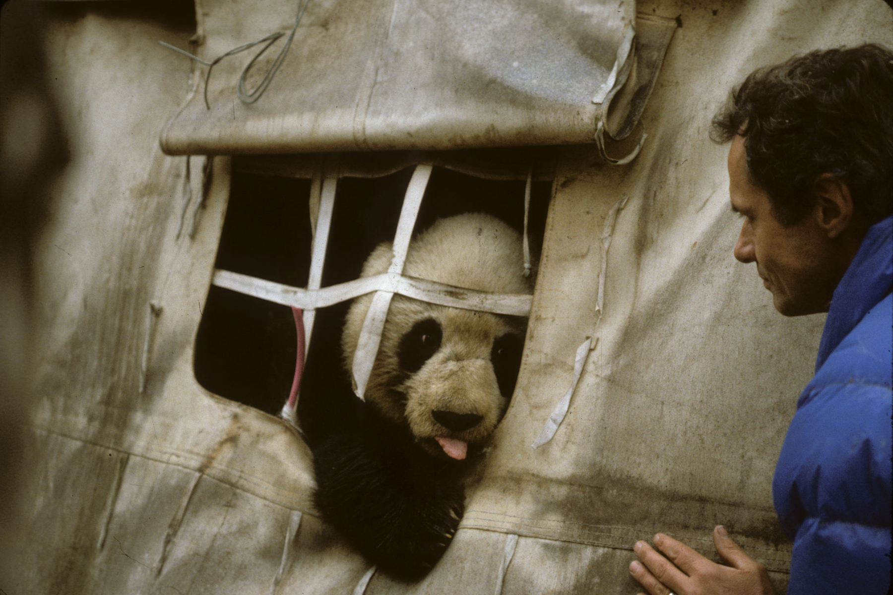 George Schaller being visited by Zhen Zhen, a curious wild giant panda, at his camp in the forests of the Wolong Nature Reserve in Western China.