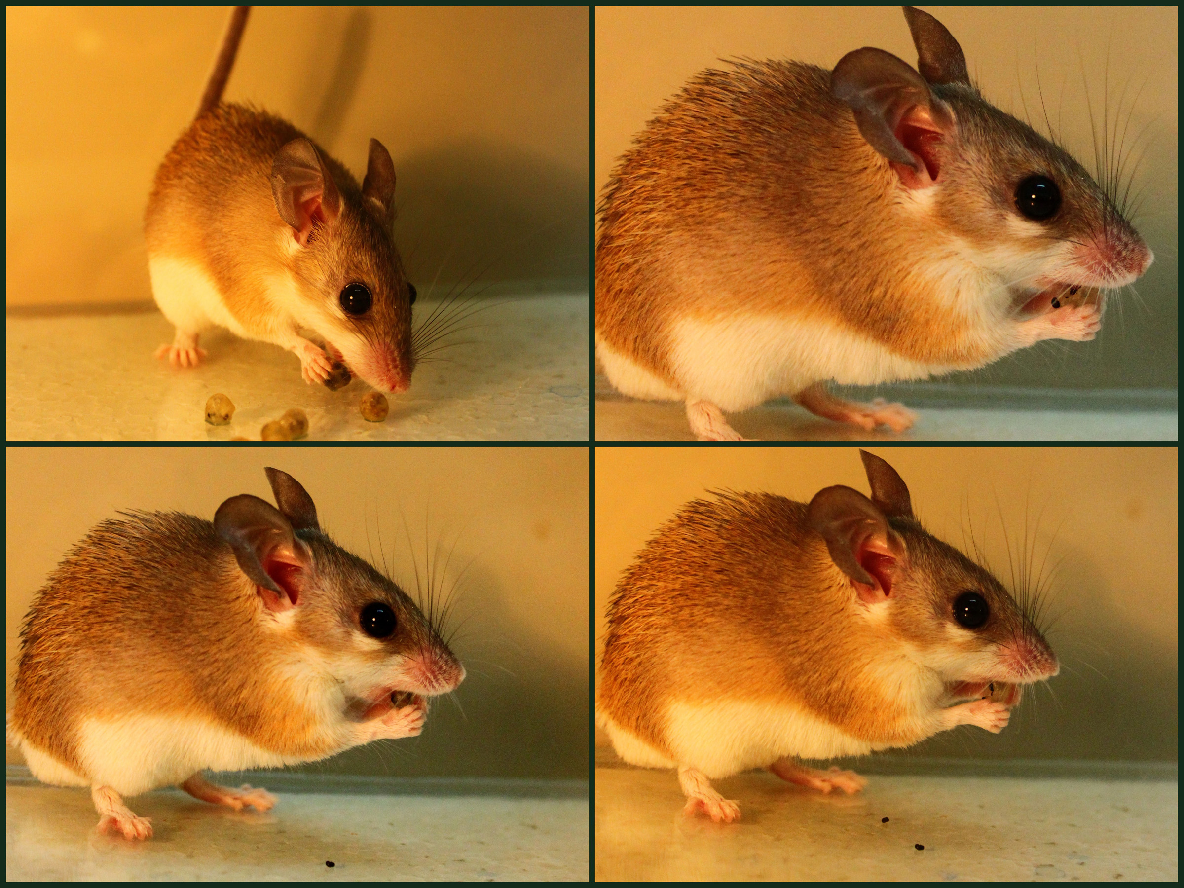 A spiny mouse from Israel's Negev Desert starts eating berries from the shrub Ochradenus baccatus (upper left). It soon spits seeds into its paws (upper right) and onto the ground (lower right and lower left). If the seeds were chewed at the same time as the fruit pulp, toxic chemicals would be released. So the plant has effectively turned the mouse from a seed-eater into a seed-spreader to help the plant reproduce, according to a new study from the Technion-Israel Institute of Technology, University of Utah and other institutions.