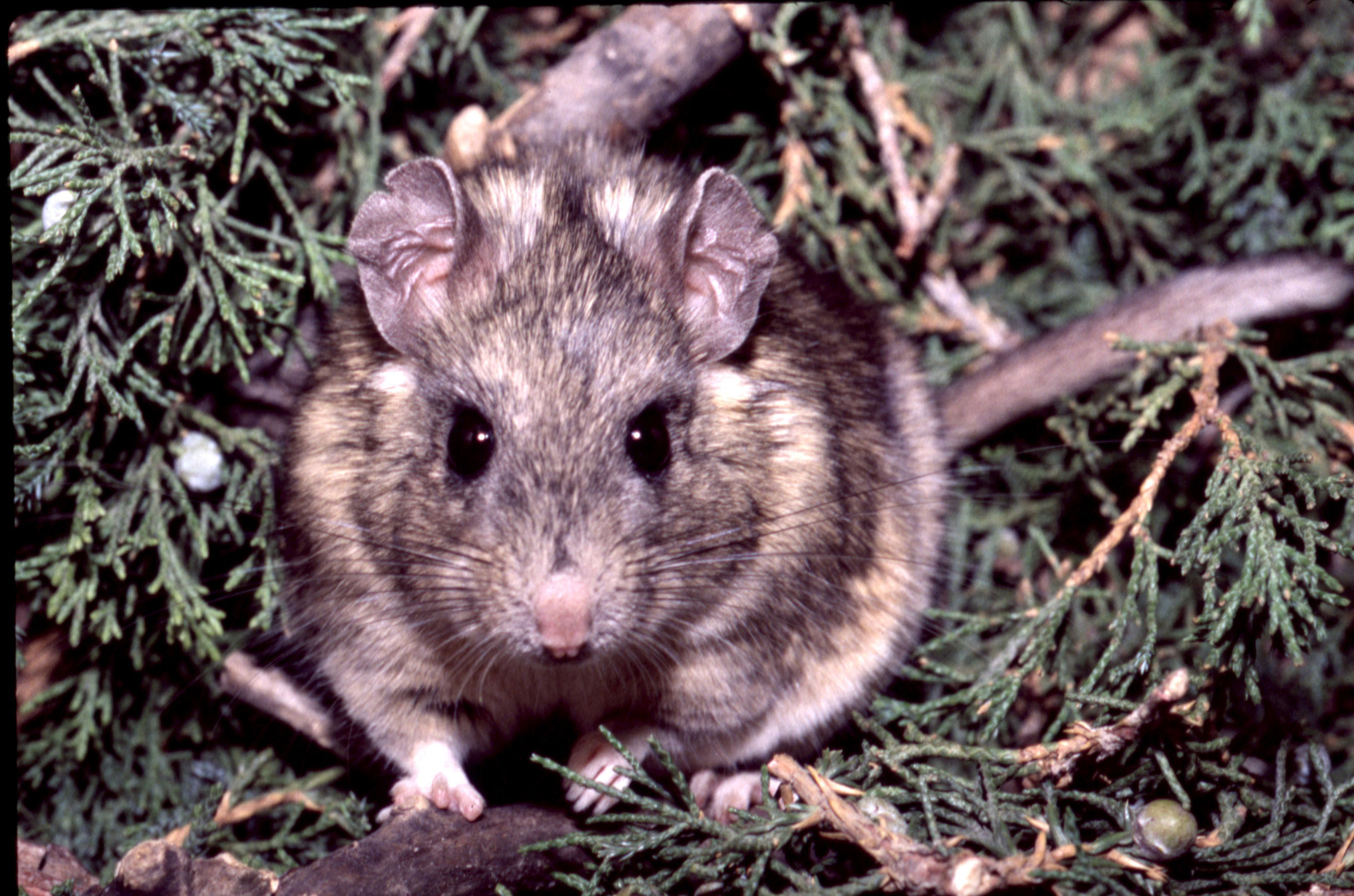 A Stephen's woodrat surrounded by its favorite food: toxic juniper.