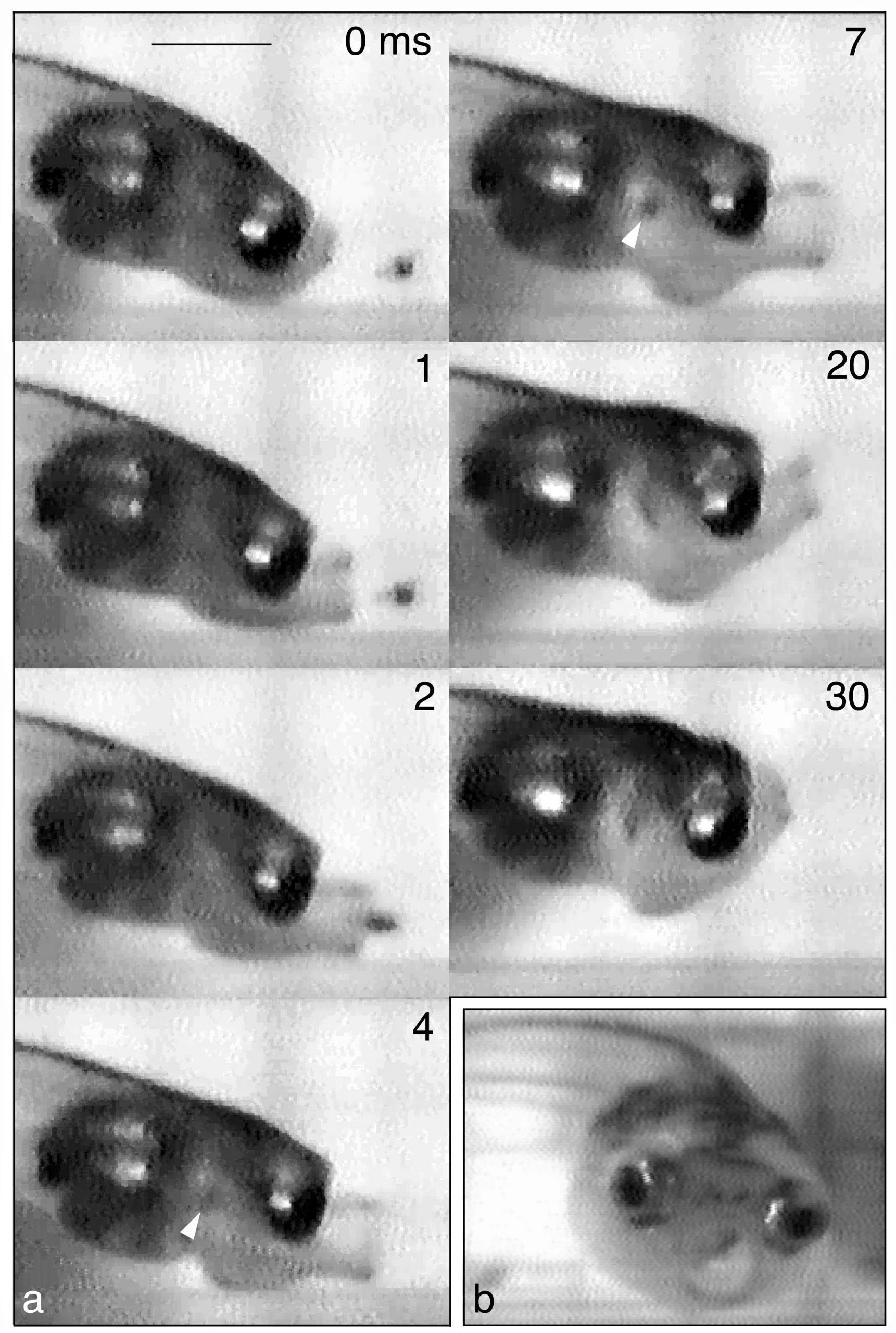 A sequence of seven high-speed video photos shows an African dwarf clawed frog tadpole extending its mouth and sucking in a brine shrimp, then lifting its head and retracting its mouth. Elapsed time, in thousandths of a second, is indicated in the upper right of each image. The white arrow shows the shrimp's location in the tadpole's throat. The eighth photo is a frontal view of the tadpole.