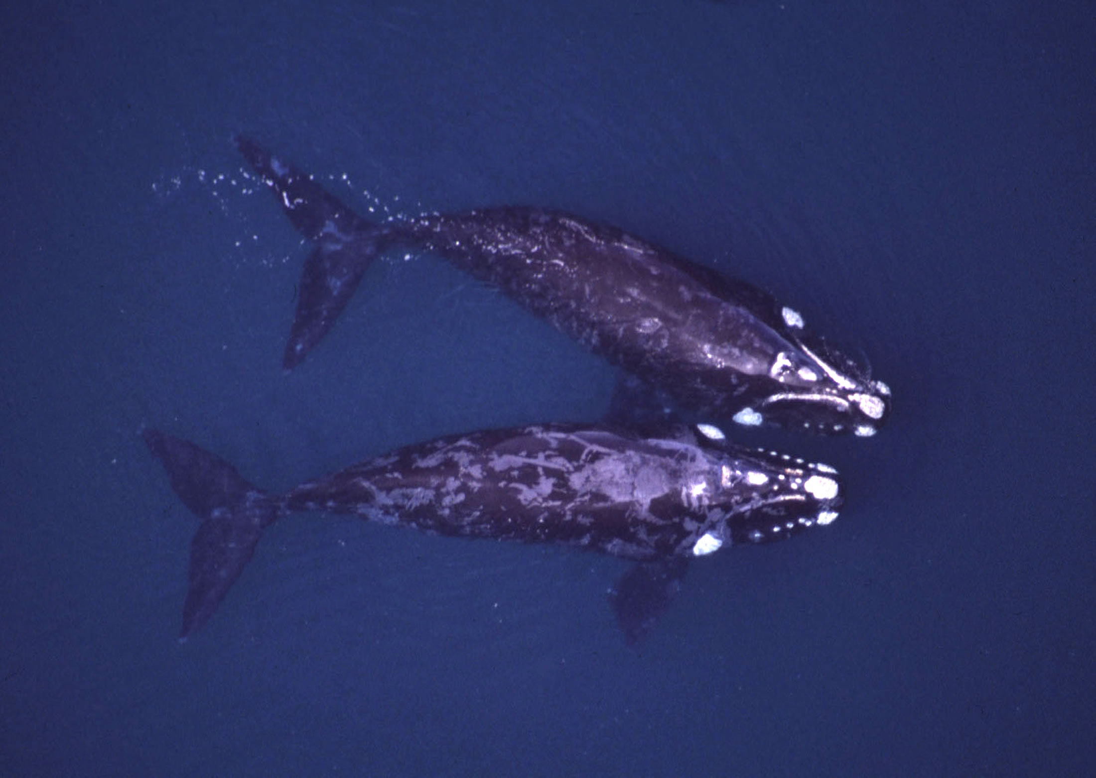 An aerial photograph of two right whales in the Atlantic Ocean offshore from Argentina shows the distinctive white markings created by small crustaceans -- known as cyamids or 'whale lice' -- that attach themselves to callus-like material on the whales' heads. University of Utah researchers learned about the evolution of different species of right whales by studying the genes of the 'whale lice' that ride the whales.