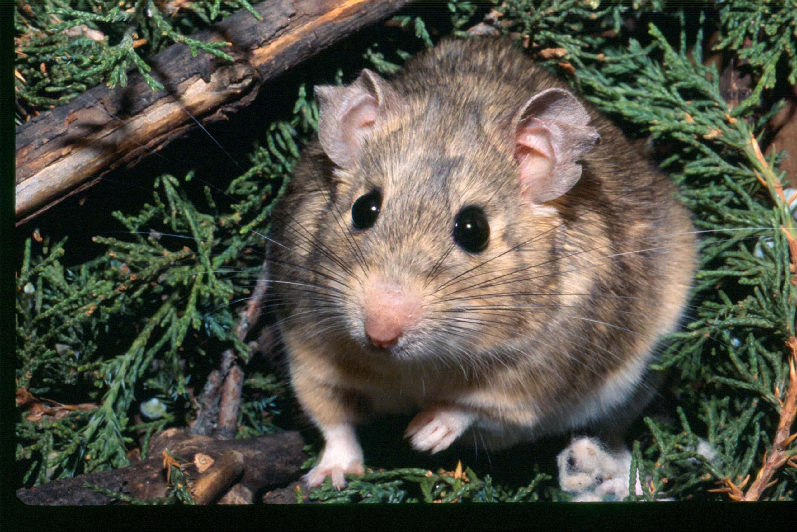 A packrat, also known as a woodrat, from the Great Basin of Utah is surrounded by mildly toxic juniper leaves that make up much of its diet.
