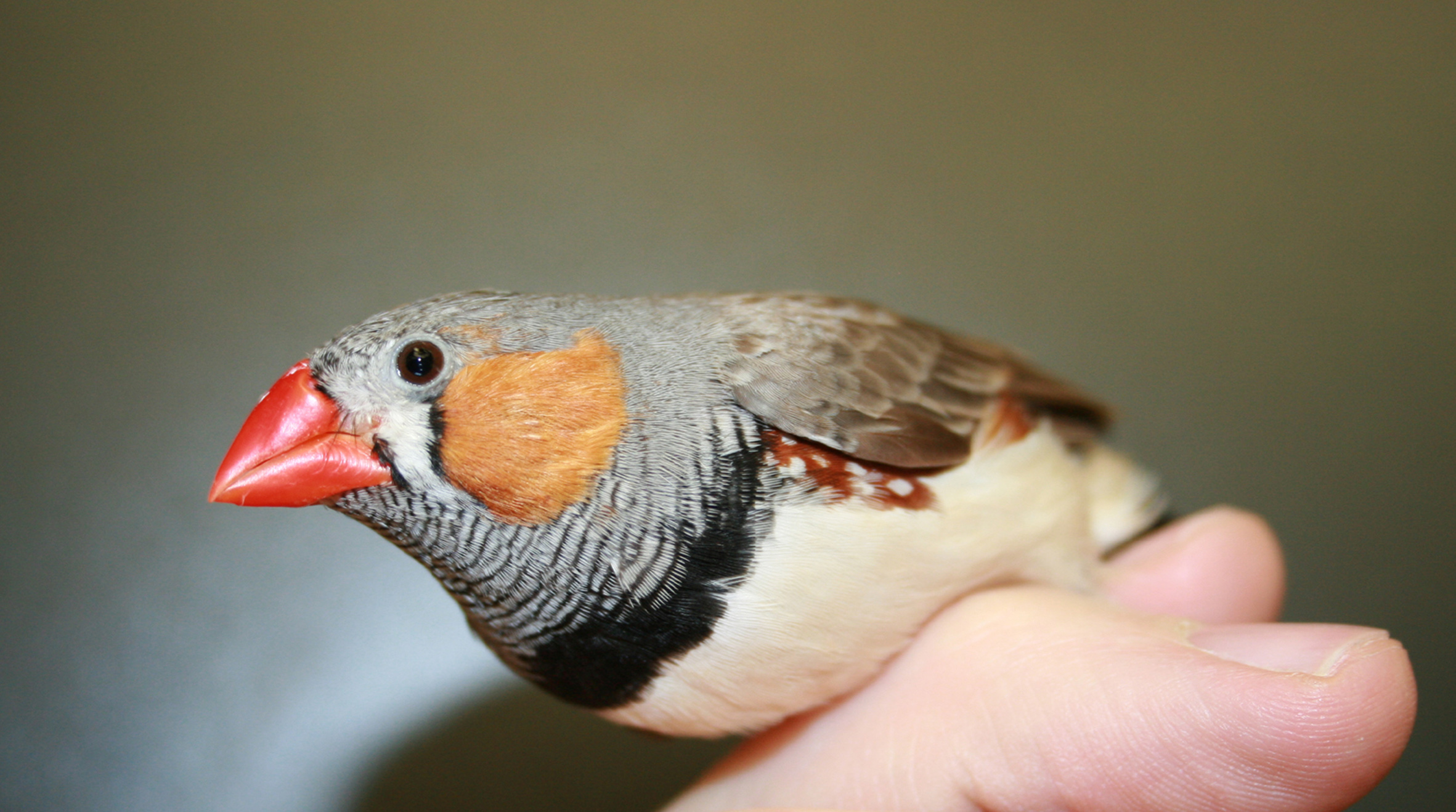 University of Utah scientists studied the colorful zebra finch to learn more about the factors that allow the songbirds to sing over a wide range of frequencies while females utter only brief lower-frequency calls. They found that the males' more powerful vocal muscles were much more important than the pressure of air within the lungs.